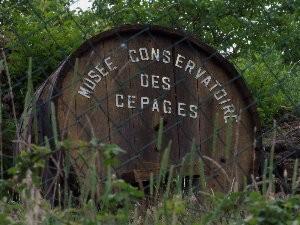 Le Musée Conservatoire des Cépages de la Ribeyre